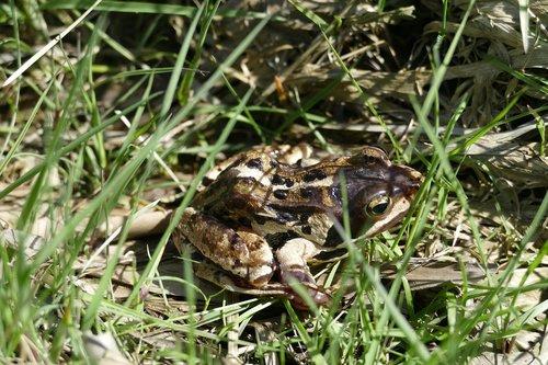 moor frog  frog  amphibian