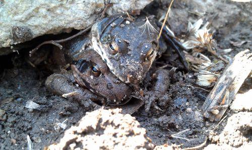 moor frogs amplexus frog