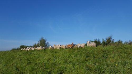 moor german heath and borkum sheep
