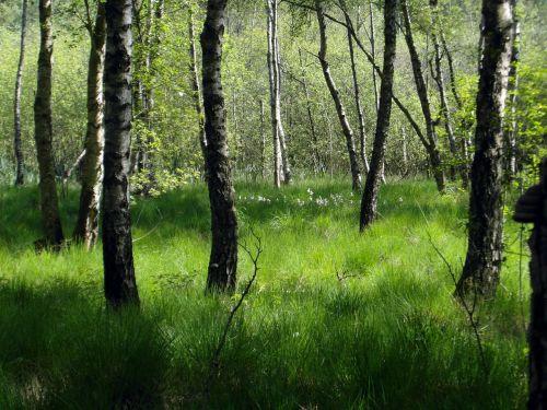 moorland forest birch