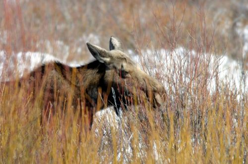 moose cow female