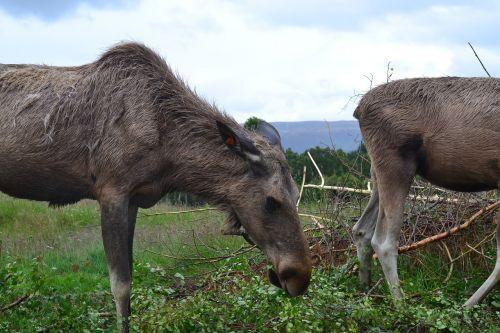briedis,gamta,parkas,Škotija,gyvūnas,laukinio gyvenimo parkas,gamtos parkas,pieva,mediena