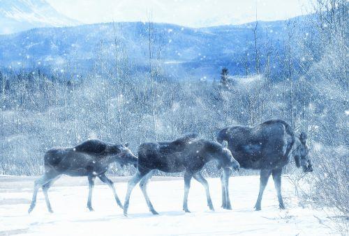moose wildlife animal
