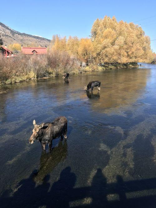 moose jackson hole wy