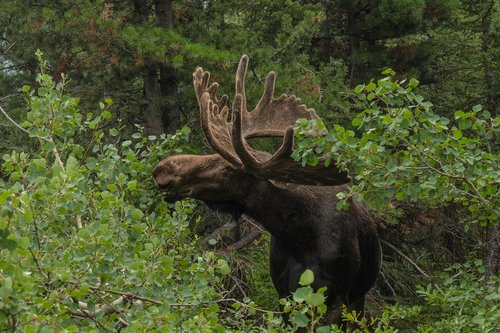 moose  wildlife  animal