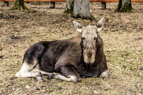moose demonstration reserve białowieża