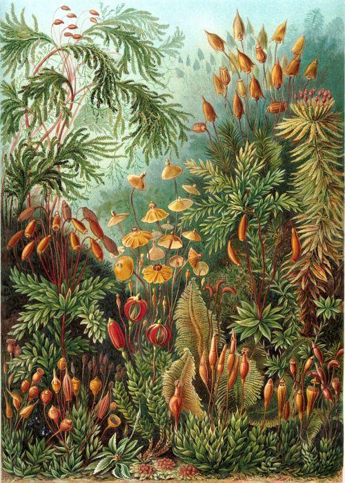 briedis,eurhynchium,haeckel muscinae,gražus snapo briedis,augalas