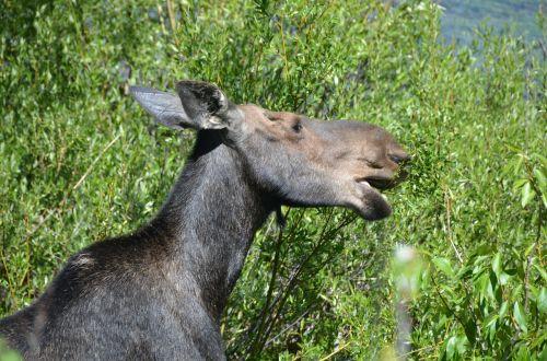 moose mother wyoming