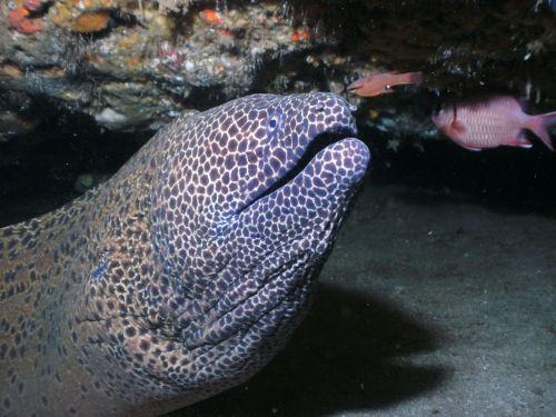 moray eel honeycomb moray honeycomb eels