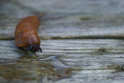 mördarsnigel  spanish slug  disgusting