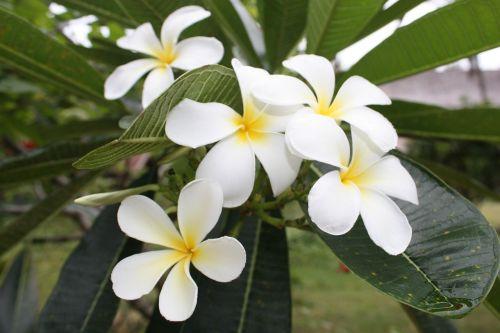 more information flowers frangipani