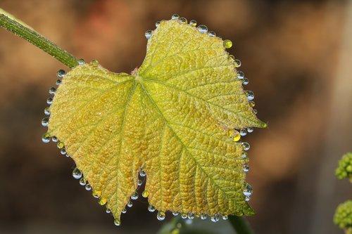 morgentau  dew  wine