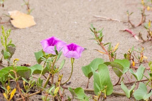 flowers ipomoea flowers seaside