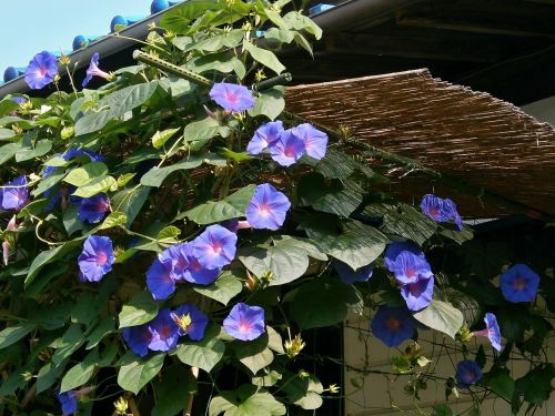 morning glory blue flowers summer flowers