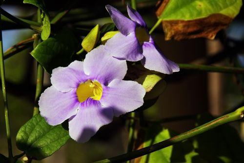 morning glory purple flower creeper