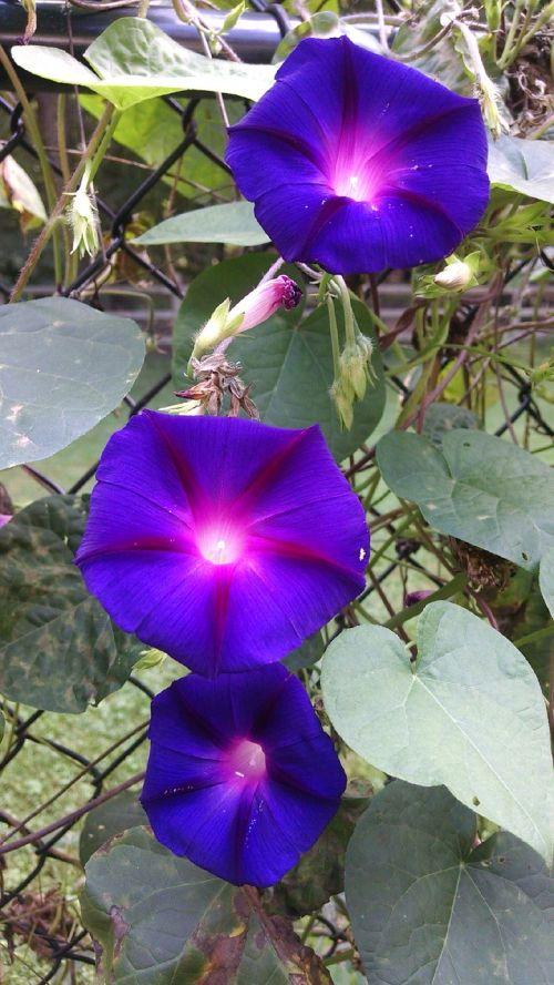 morning glory flowers purple