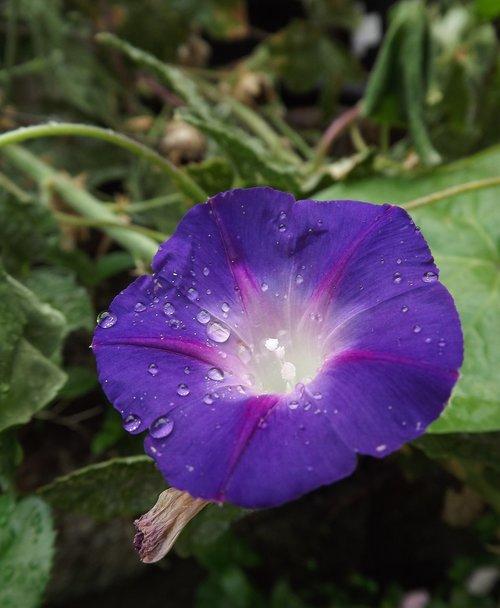 morning glory  flower  blossom