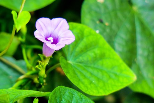 morning glory  purple  plant