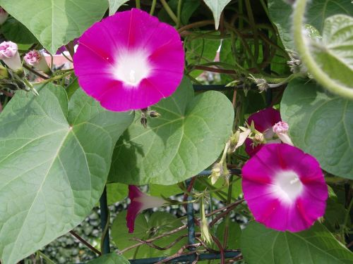 morning glory winds blossom