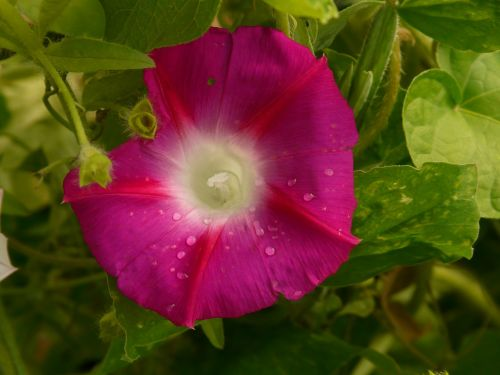 morning glory ipomoea superb thread