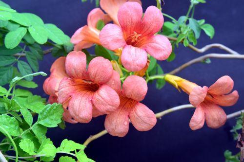 Morning Glory Trumpet Flowers 1