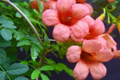 Morning Glory Trumpet Flowers 2