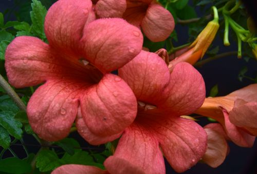 Morning Glory Trumpet Flowers 4