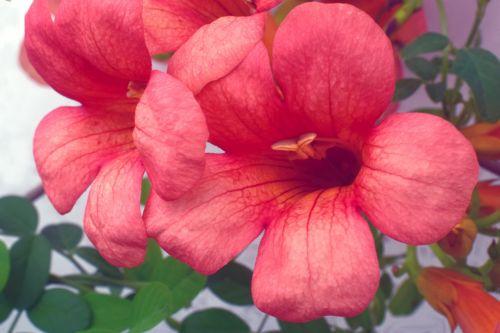 Morning Glory Trumpet Flowers 5
