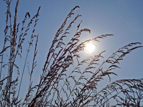 morning sun grass halme