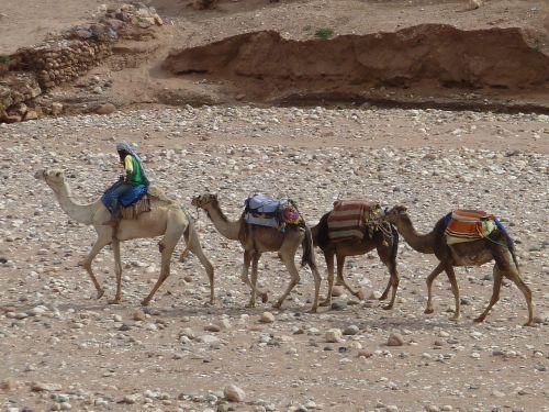 morocco dromedary camel