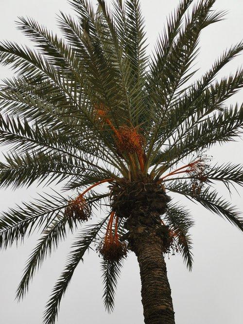 morocco  palm  palm trees