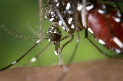 mosquito female aedes albopictus