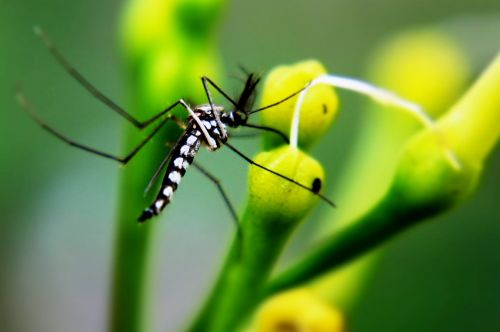 mosquito insect animal