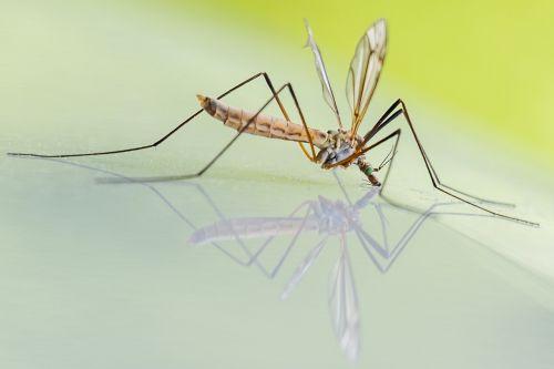 mosquito schnake riesenschnake