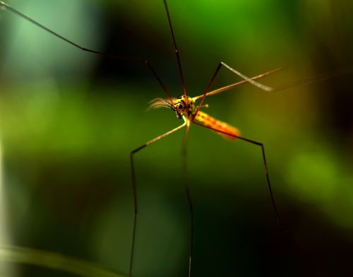 mosquito insect nature