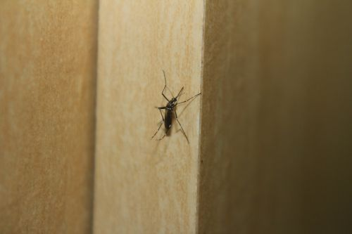 mosquito dengue fever aedes