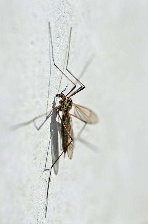 mosquito nephrotoma appendiculata macro