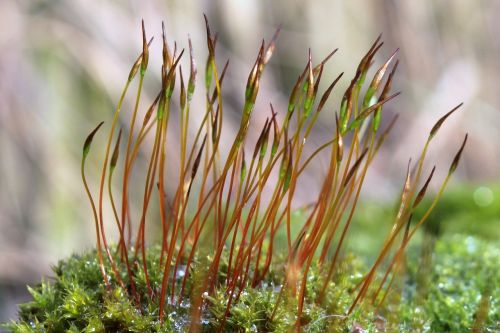 moss wall rotary toothed moss tortula muralis