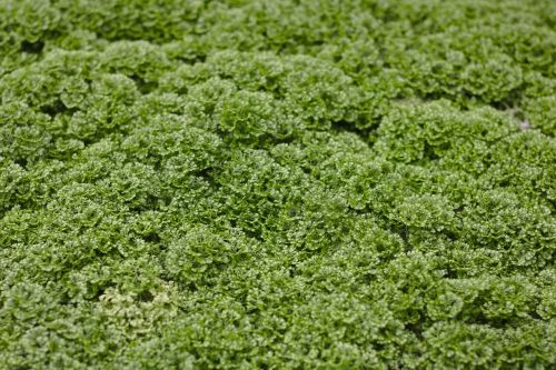 moss selaginella apoda footless moss herb