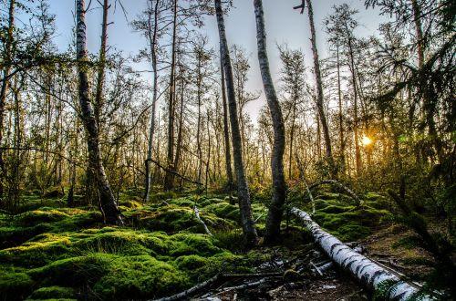moss schwenningen birch