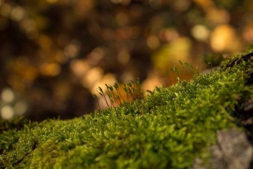 samanos,miškas,ruduo,gamta,žalias,mediena,žurnalas,pomidoras,augalas,makro,kumpas,samanos,žalios samanos,spalva,normafa