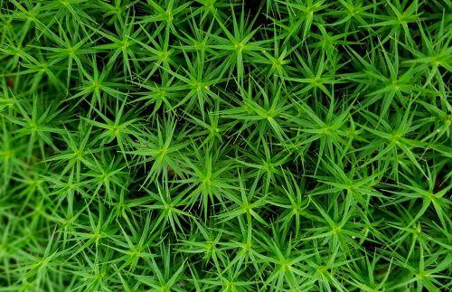 moss star moss forest plant