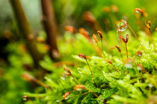 moss stalked spore capsules drop of water