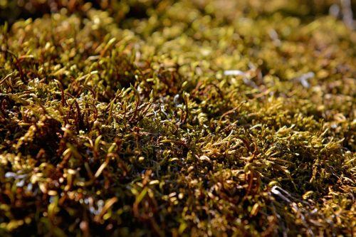 moss plant green