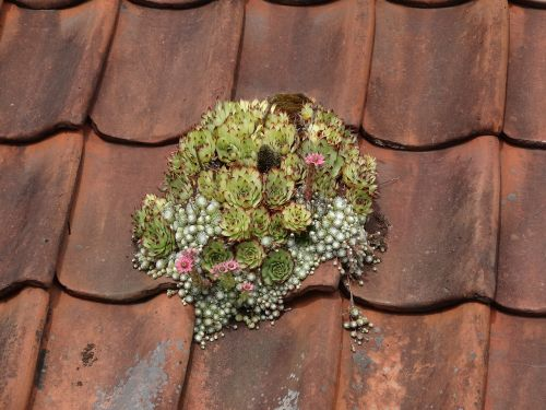 moss roof plant