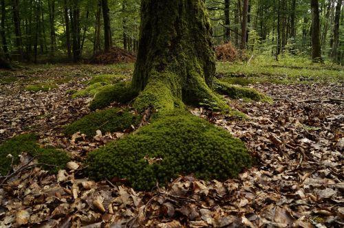 moss wood mossy