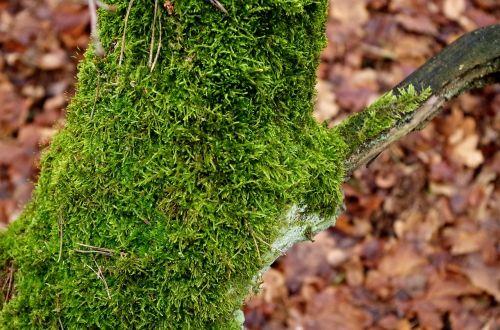 mossy trunk moss tree