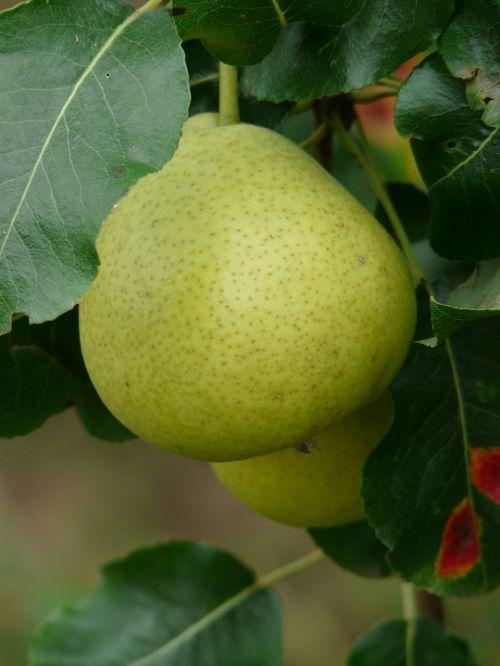 most pear swiss wasserbirne pear