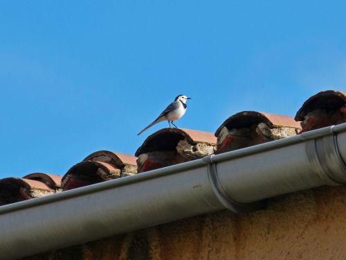 motacila alba pastorella bird