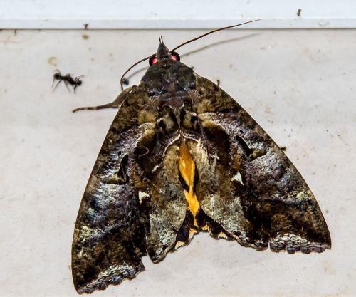 moth fruit-sucking moth large